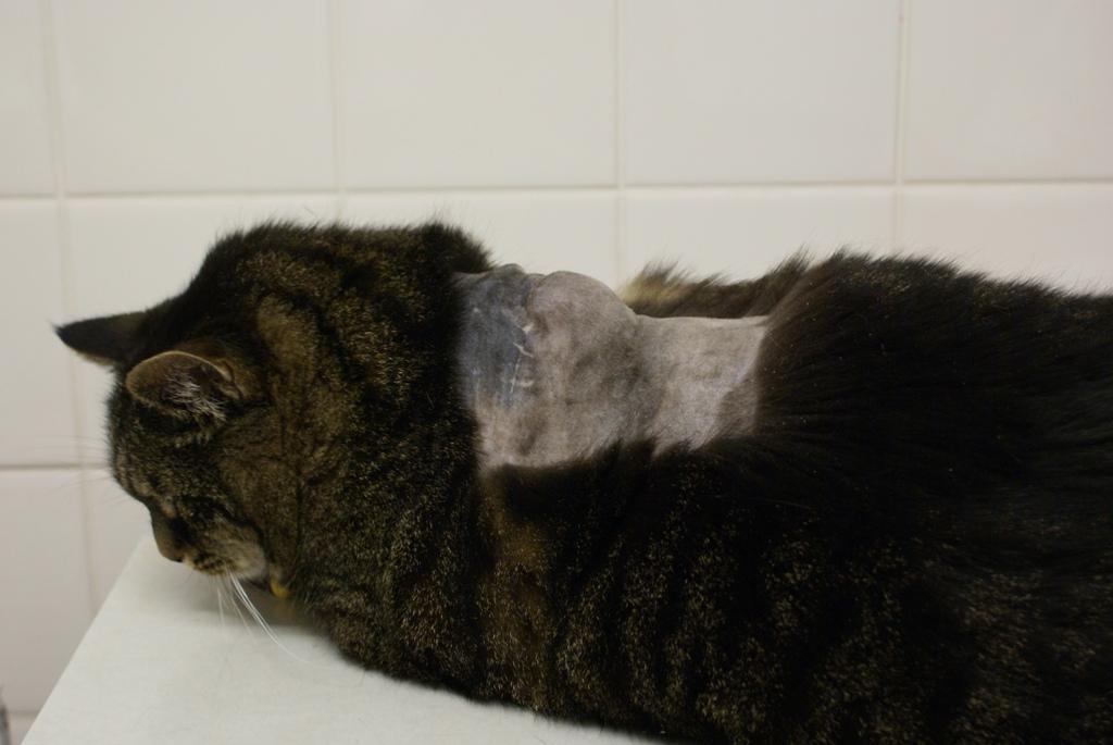 Vaccinatie Ge 239 Nduceerd Injectieplaats Sarcoom Bij De Kat