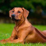 Meer oogafwijkingen bij rashonden?