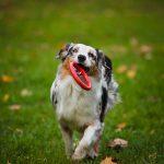 Hond gescheurde voorste kruisband? Opereren!