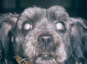 hond-met-staar-aan-beide-ogen